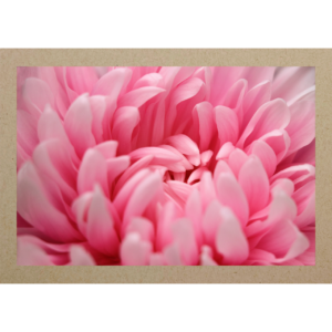 Chrysantheme pink