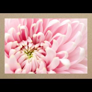 Chrysantheme rosa