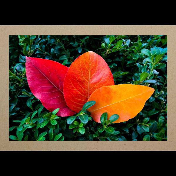 Drei Herbstblätter auf Buchsbaum