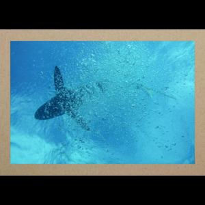 Hai hinter Luftblasen Cuba