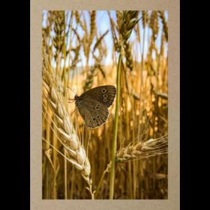 Schmetterling im Kornfeld