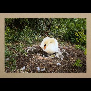 Schwan mit Jungen im Nest 20